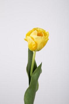 Tulip 51cm