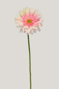 Single Gerbera Flocked Stem 60cm