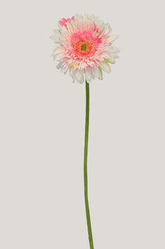Single Spider Gerbera 60cm