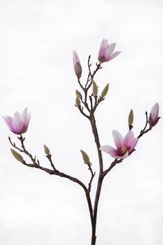Small Magnolia w/3 flrs 2 buds 82cm