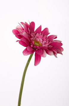 Hybrid Gerbrid Gerbera Single Stem 50cm