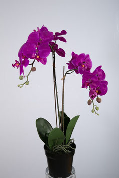 Phalaenopsis Spray x2 in plastic pot