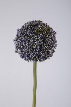 Allium 75cm