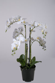 Butterfly Orchid in Pot 65cm