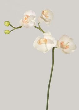 Phalaenopsis Stem w/6 flrs 45cm