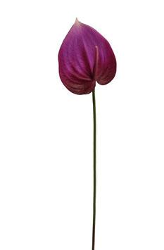 Anthurium Stem 67cm