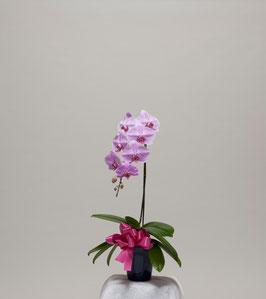 大輪胡蝶蘭1本立10輪(つぼみ込) ピンク系