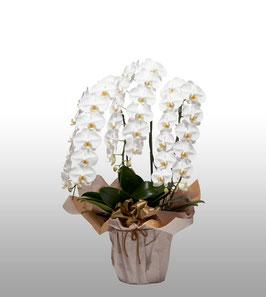 大輪胡蝶蘭3本立40輪(つぼみ込) 白色