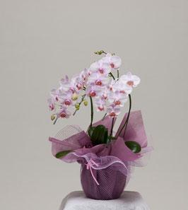 ミディ胡蝶蘭 3本立(ピンク系)              38輪以上 (つぼみ込)