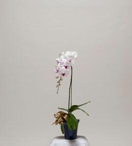 大輪胡蝶蘭1本立10輪(つぼみ込) 赤白リップ系