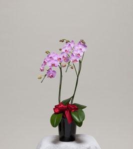 ミディ胡蝶蘭2本立24輪(つぼみ込) ピンク系