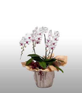 大輪胡蝶蘭3本立30輪(つぼみ込) 白赤リップ系