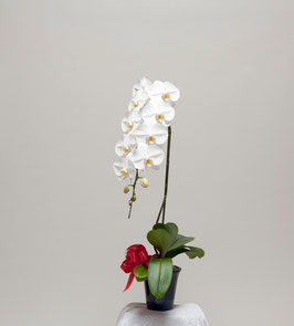 大輪胡蝶蘭1本立10輪(つぼみ込) 白系