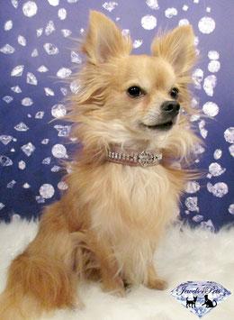 "Jewels4Pets luxury jewelry dog collar ""Cesar"""
