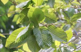 Kratom Groene bladnerf - meest energiek en stimulerend