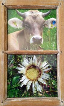 Altes Fenster mit Kuh und Silberdistel Bild hinter Glas