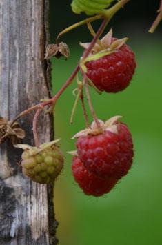 Rubus 'Tulameen®'  - Sommerhimbeere