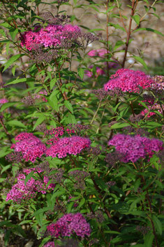 Spiraeae japonica 'Anthony Waterer'