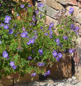 Geranium pratense 'Rozanne'