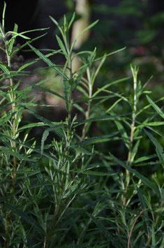 Salix elaeagnos subsp. angustifolia (Salix rosmarinifolia)