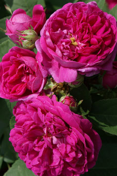 Rose de Resht (Rosa damascena)
