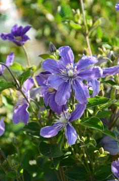 Clematis intergrifolia 'Arabella'