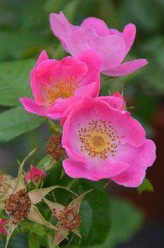Rosa canina 'Kiese' ('von Kiese'/'Canina Kiese')