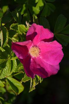 Rosa rugosa - Kartoffelrose