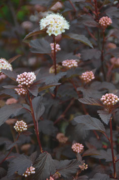 Physocarpus 'Tiny Wine'