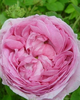 Rosa 'Centifolia Cristata'