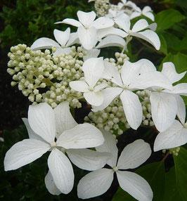 Hydrangea paniculata 'Le Vasterival'