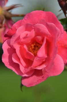 Meil. Rose IGA 83