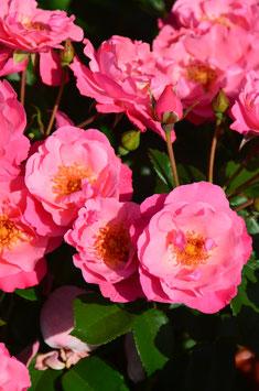 Meil. Rose IGA 83 (Syn: München 83/Rosiga)