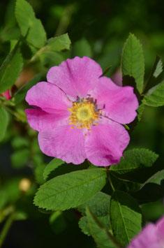 Rosa majalis - Zimtrose