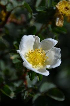 Rosa spinosissima (Syn. pimpinelifollia) - Bibernellrose
