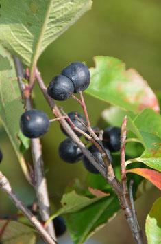 Aronia prunifolia 'Aron'