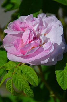 Rosa x centifolia 'Muscosa'
