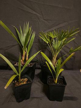 Palmenpaket - 4 Pflanzen aus eigener Zucht