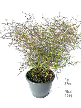 Ziggy Zaggy XL - Muehlenbeckia Astonii (Pot 32 cm)