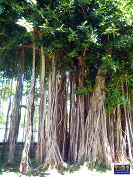 Baum Mauritius