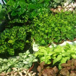 Tropische mini plantjes voor Flessentuin