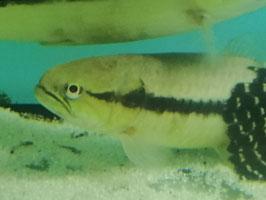 Hoplerythrinus unitaeniatus, Gold Wolf Fish
