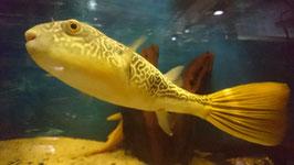 Tetraodon MBU, Goldringel-Kugelfisch