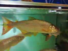 Salminus Brasiliensis, Salminus maxillosus, Golden Dorado