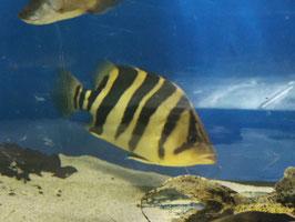 Datnioides microlepis, Indonesischer Tigerfisch, Tigerbarsch