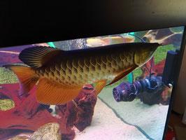 Scleropages formosus, Asiatischer Arowana Highback Golden