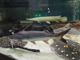 Platynematichthys notatus, Lince Catfish