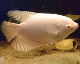 Osphronemus goramy Albino, Riesengurami
