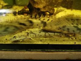 Polypterus endlicheri ca. 20 cm groß