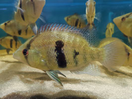 Caquetaia myersi, Myers Cichlid